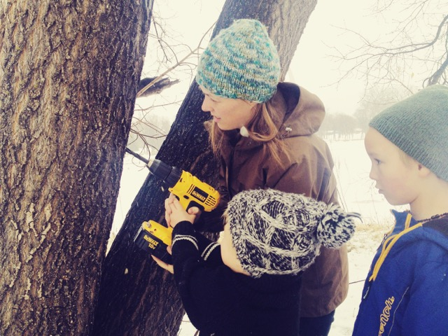 Maple tapping with kids